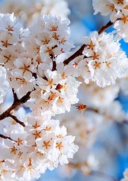 Stage de printemps 1: Hanami, fêtes des cerisiers en fleurs, du 08 avril au 12 avril 2019. Pour les enfants de 3 à 13 ans, à Soignies, dans les locaux du Quinquet ASBL